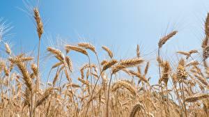 Обои для рабочего стола Пшеница Колосья Природа