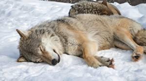 Фотографии Волки Спящий Снега Лежит Животные