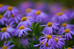 Обои Размытый фон Фиолетовых blue daisy, Felicia amelloides цветок