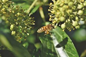 Обои Пчелы Насекомое Крупным планом Боке животное