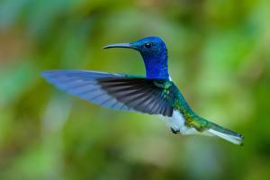Картинки Птица Колибри Крылья Синих Полет животное