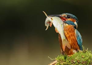 Обои для рабочего стола Птицы Обыкновенный зимородок Рыбы Клюв животное