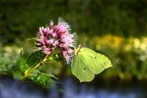 Фото Бабочка Крупным планом Размытый фон Brimstone Buckthorn животное
