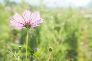 Обои Крупным планом Космея Размытый фон Розовые Бутон цветок