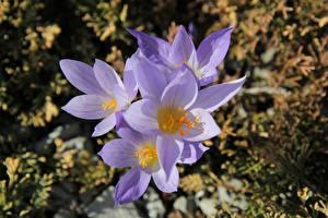Картинка Вблизи Крокусы Фиолетовая Размытый фон Цветы