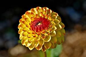 Обои Крупным планом Георгины Боке Желтый цветок