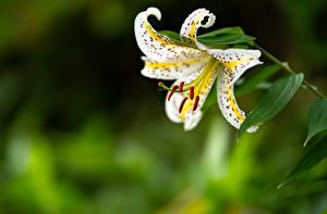 Картинки Крупным планом Лилия Размытый фон цветок