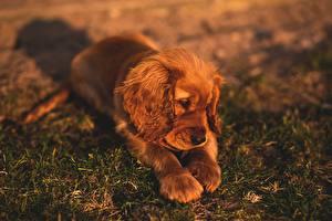 Фотография Собаки Щенок Траве Лежачие Спаниель Лапы Животные