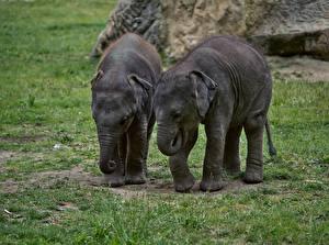 Обои для рабочего стола Слоны Детеныши Траве Двое животное