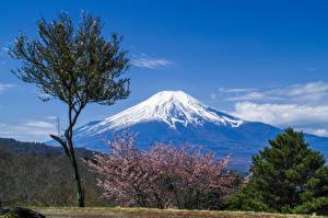 Картинки Фудзияма Цветущие деревья Япония Вулкан Дерева Природа
