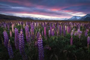 Обои для рабочего стола Новая Зеландия Гора Люпин Поля Mount Cook Природа