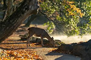 Картинки Парки Олени Осень Япония Листва Nara Park Животные