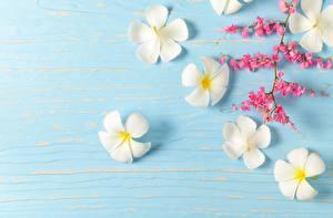 Фотография Плюмерия Шаблон поздравительной открытки Белый цветок