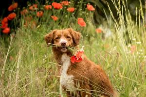Фотографии Маки Новошотландский ретривер Траве Сидя Смотрят Боке животное