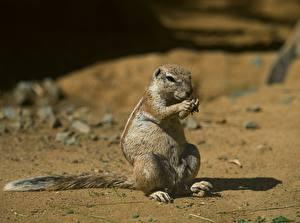 Фото Грызуны Суслики Размытый фон животное