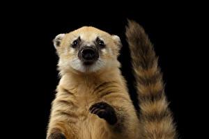 Обои Черный фон Хвост Лапы South American coati Животные картинки