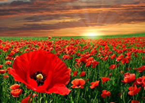 Фотография Рассветы и закаты Поля Маки Много Красный Природа Цветы