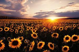 Картинка Рассветы и закаты Поля Подсолнечник Много Лучи света Солнце
