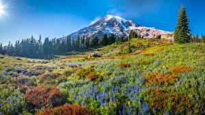 Картинка США Парки Гора Луга Деревья Mount Rainier National Park Природа