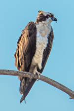 Фотографии Птицы Цветной фон Ветвь Osprey Животные