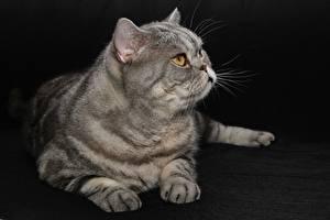 Картинка Британская короткошёрстная Кошки Черный фон Лежит Девушки