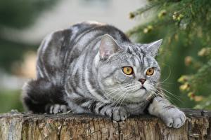 Фотографии Британская короткошёрстная Кошки Взгляд Лежит Боке Лап животное