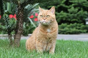 Обои Британская короткошёрстная Кошка Траве Сидящие Рыжий Смотрит