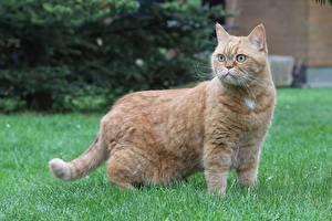 Фотографии Коты Британская короткошёрстная Траве Взгляд Рыжая животное