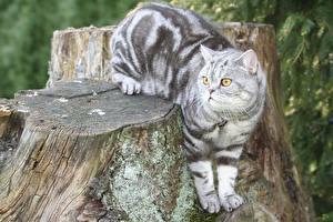Обои для рабочего стола Кошки Британская короткошёрстная Пень Взгляд животное