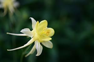 Фотография Вблизи Боке Желтая Aquilegia, granny's bonnet, columbine Цветы