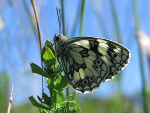 Фото Крупным планом Бабочки Насекомые Боке Melanargia russiae Животные