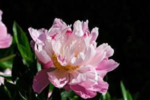Фотография Крупным планом Пион Розовый Цветы