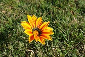 Фотографии Газания Вблизи Трава Желтая Цветы