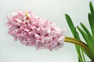Обои Гиацинты Вблизи Розовые Цветы
