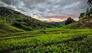 Фотография Малайзия Поля Рассвет и закат Холмы Cameron Highlands
