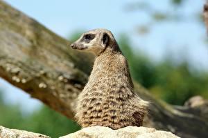 Фото Сурикат Размытый фон Вид сзади Сидит Взгляд животное