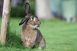 Обои Кролик Траве Размытый фон Сидит Смотрят животное