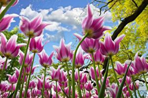 Картинки Тюльпан Поля Небо Вид снизу