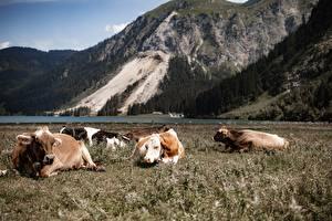 Фотографии Австрия Горы Коровы Альп Трава Лежит Tyrol животное