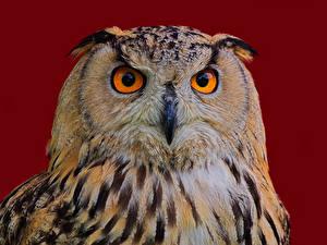 Картинка Птица Филин Цветной фон Морды Клюв Eagle Owl