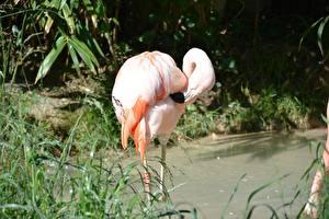 Картинки Птицы Фламинго Размытый фон Траве Розовых животное