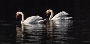 Картинки Птицы Лебеди 2 Животные