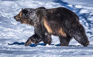 Картинка Медведь Гризли Снеге Сбоку