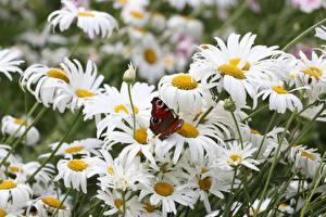 Картинки Ромашка Насекомое Бабочки Цветы