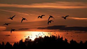 Картинки Канада Птица Рассветы и закаты Силуэт Природа