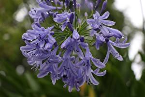 Фотография Вблизи Фиолетовых Капли Размытый фон Agapanthus