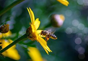 Картинка Вблизи Пчелы Насекомое Боке Желтая животное