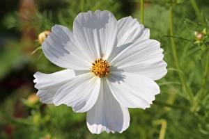 Фотография Вблизи Космея Боке Белые цветок