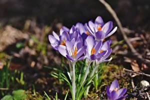 Фотография Крупным планом Крокусы Боке Фиолетовая Цветы
