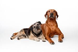 Обои для рабочего стола Собака Белом фоне Две Лежат Смотрят Rhodesian Ridgeback Животные
